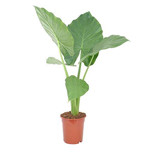 Alocasia macrorrhizos | Araceae | Elefantenohr | Riesenblättriges Pfeilblatt | luftreinigende Zimmerpflanze | Lieferhöhe 40-50 cm | Topfgröße Ø 17 cm