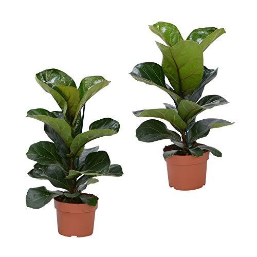 2 Ficus lyrata'Bambino' | Moraceae | Geigenfeige | luftreinigende Zimmerpflanze | Höhe 30-40cm | Topfgröße Ø 12cm