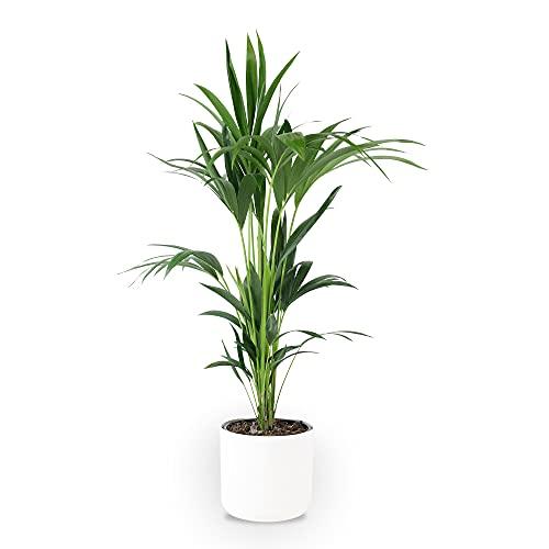 Howea forsteriana   Kentia Palme   Luftreinigende Zimmerpflanzen   Zimmerpalme groß mit Topf   Höhe 90-100 cm   Ø 21 cm   Übertopf 25x23 cm