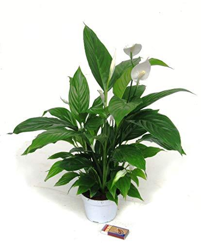 Spathiphyllum wallisii - Einblatt blühende luftreinigende Zimmerpflanzen im 13 cm Topf