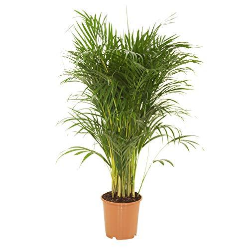 Dypsis lutescens | Areca Palme | Zimmerpalme | Luftreinigende Zimmerpflanze | Höhe 55-65 cm | Topf-Ø 14 cm