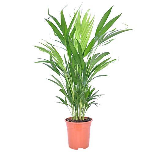 2x Dypsis lutescens | Areca Palme | Zimmerpalme groß | Zwei luftreinigende Zimmerpflanzen | Höhe 65-75 cm | Topf-Ø 17 cm