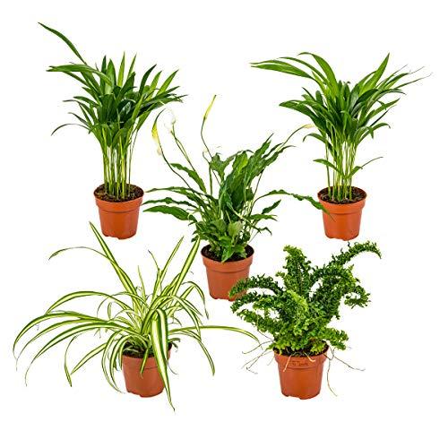Mix aus 5 luftreinigenden Zimmerpflanzen   Chlorophytum 2x, Asplenium, Spathiphyllum, Nephrolepis ⌀12 cm   ↕35 cm