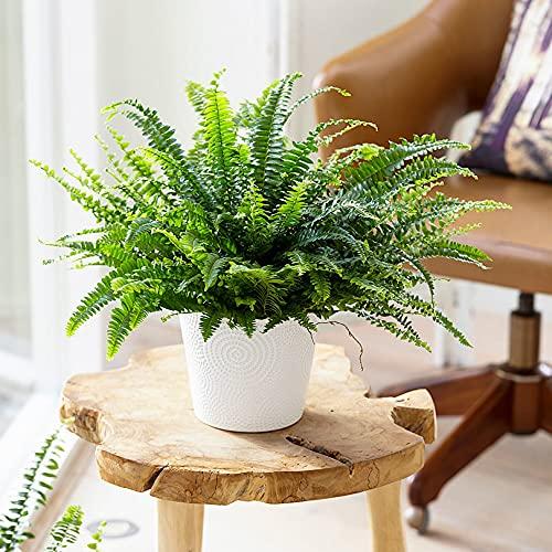Nephrolepis exaltata 'Green Lady'   Farn Zimmerpflanze   Luftreinigende Zimmerpflanzen   Zimmerpflanzen für Schatten   Indoor plants   Höhe 30-35 cm   Topf-Ø 12 cm