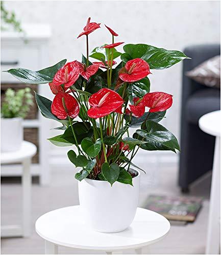 BALDUR-Garten Flamingoblume'Rot', 1 Pflanze Luftreinigende Zimmerpflanze Anthurium blühende Zimmerpflanze