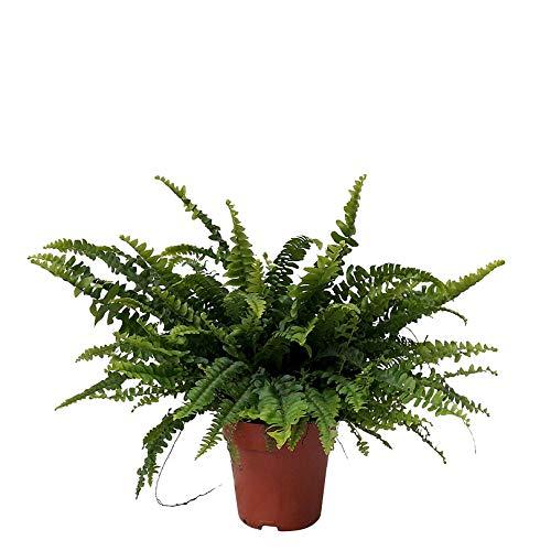 Nephrolepis exaltata'Green Lady' | Farn Zimmerpflanze | Luftreinigende Zimmerpflanzen | Zimmerpflanzen für Schatten | Indoor plants | Höhe 30-35 cm | Topf-Ø 12 cm