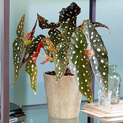 Forellenbegonie   Beliebte Zimmerpflanze   20-30cm mit Topf
