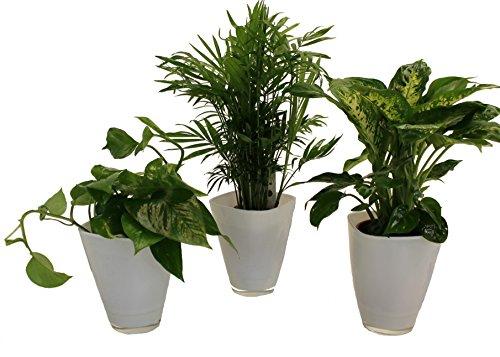 Dominik Blumen und Pflanzen, Tropic-Trio, Efeutute Zimmerpalme mit Dieffenbachia und Dekotopf, weiß